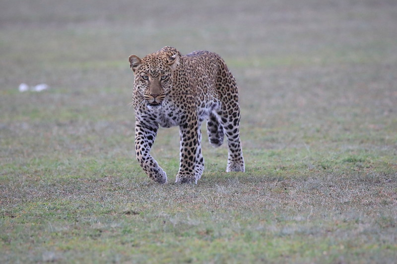 Leopard_Adult_Mara_2018_Asilia__0057