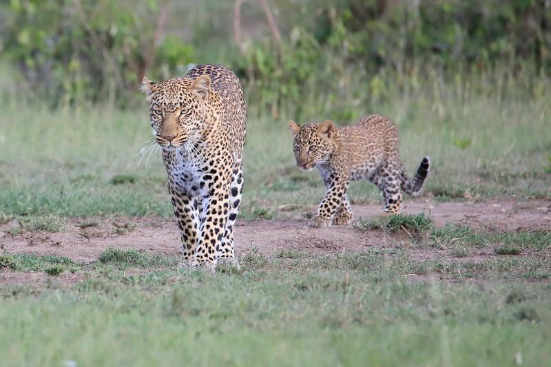 Leopard_Cubs_Mara_2018_Asilia__0013