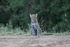 Leopard_Cubs_Mara_2018_Asilia__0174