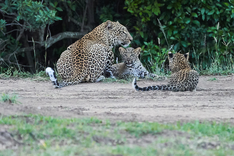 Leopard_Cubs_Mara_2018_Asilia__0271