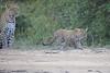 Leopard_Cubs_Mara_2018_Asilia__0147