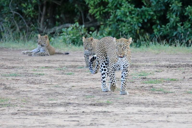 Leopard_Cubs_Mara_2018_Asilia__0114