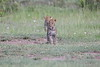 Leopard_Cubs_Mara_2018_Asilia__0007
