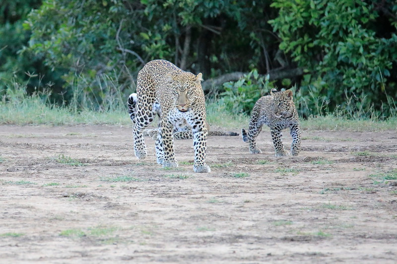 Leopard_Cubs_Mara_2018_Asilia__0111