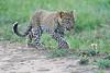 Leopard_Cubs_Mara_2018_Asilia__0252