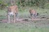 Leopard_Cubs_Mara_2018_Asilia__0012