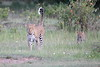 Leopard_Cubs_Mara_2018_Asilia__0003