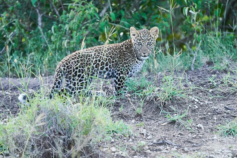Leopard_Cubs_Mara_2018_Asilia__0220