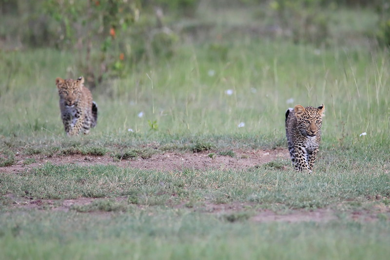 Leopard_Cubs_Mara_2018_Asilia__0009
