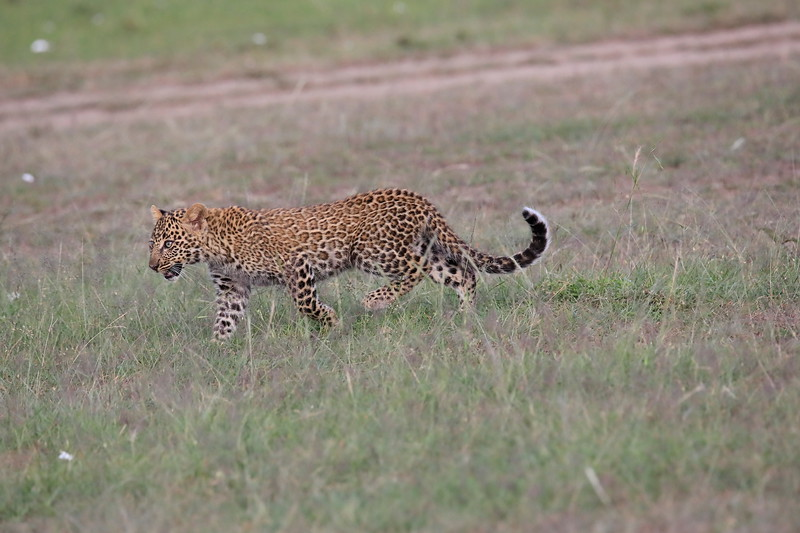 Leopard_Cubs_Mara_2018_Asilia__0051