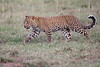 Leopard_Cubs_Mara_2018_Asilia__0040