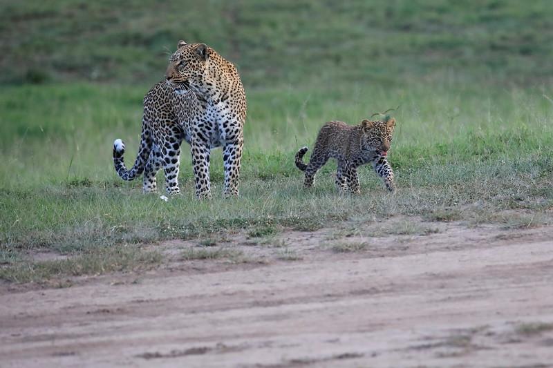 Leopard_Cubs_Mara_2018_Asilia__0078