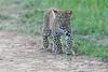 Leopard_Cubs_Mara_2018_Asilia__0249