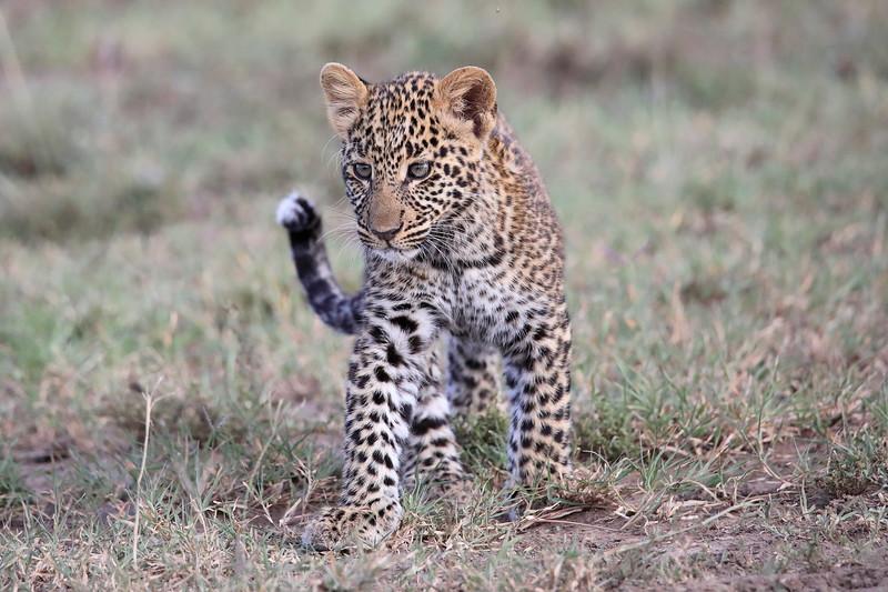 Leopard_Cubs_Mara_2018_Asilia__0035