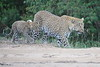 Leopard_Cubs_Mara_2018_Asilia__0172