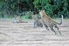 Leopard_Cubs_Mara_2018_Asilia__0115
