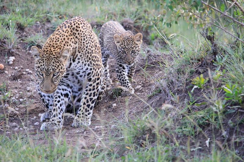 Leopard_Cubs_Mara_2018_Asilia__0058