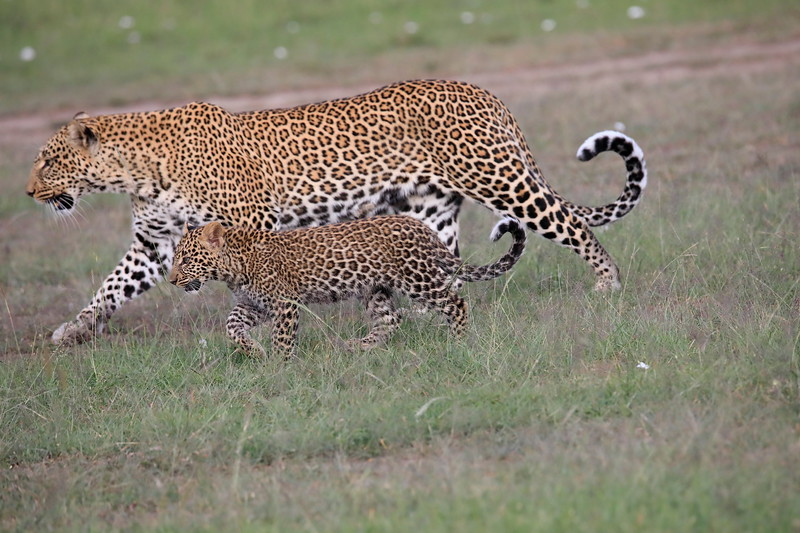 Leopard_Cubs_Mara_2018_Asilia__0050