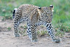 Leopard_Cubs_Mara_2018_Asilia__0247