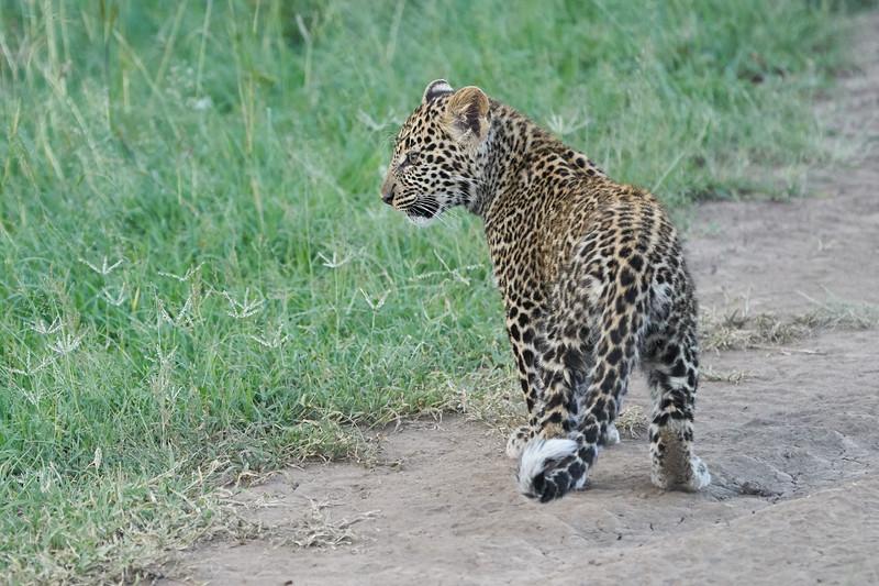 Leopard_Cubs_Mara_2018_Asilia__0227