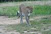 Leopard_Cubs_Mara_2018_Asilia__0231