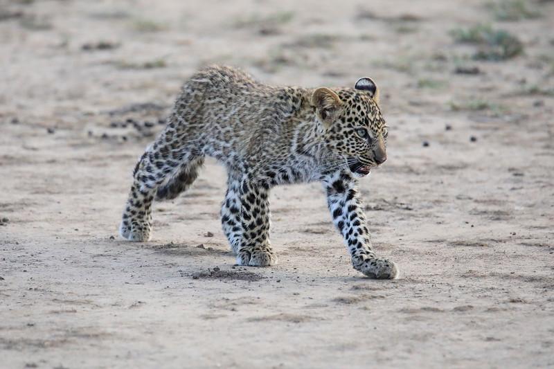Leopard_Cubs_Mara_2018_Asilia__0097