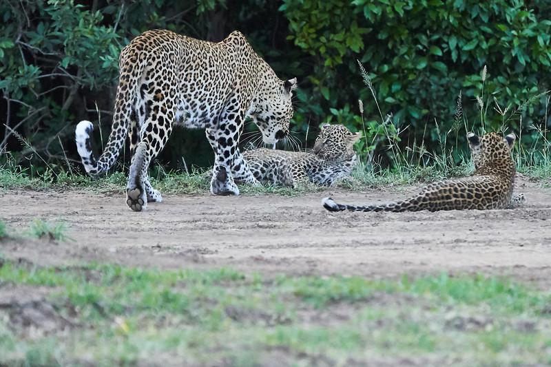 Leopard_Cubs_Mara_2018_Asilia__0267