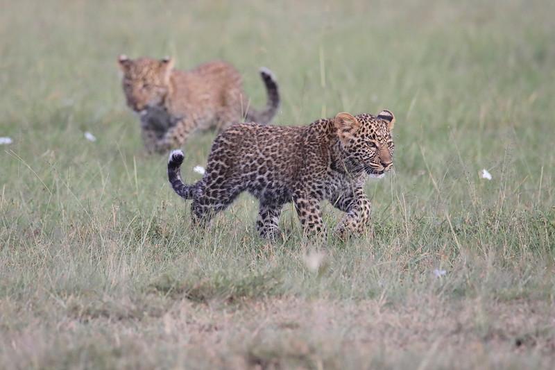 Leopard_Cubs_Mara_2018_Asilia__0022