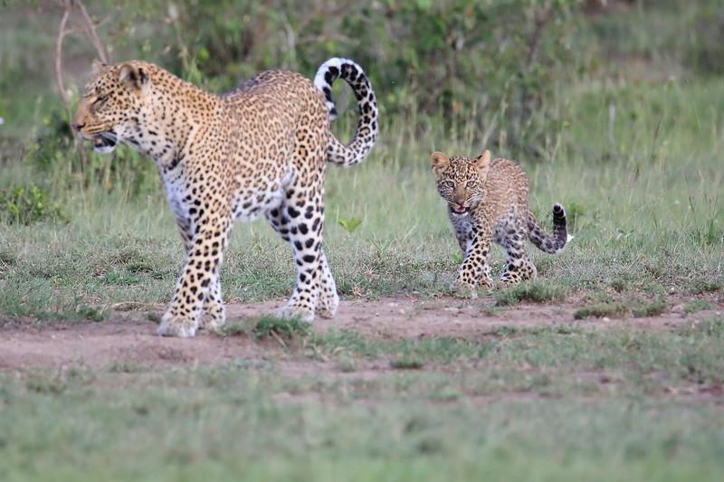 Leopard_Cubs_Mara_2018_Asilia__0011