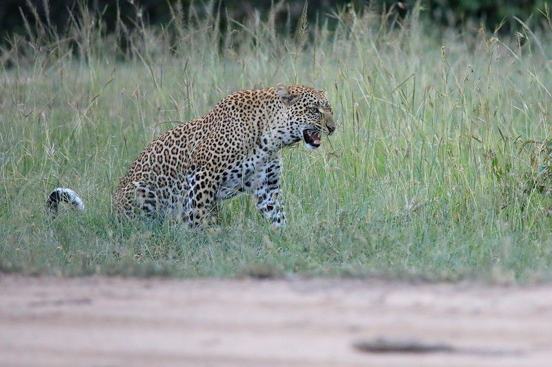 Leopard_Cubs_Mara_2018_Asilia__0126