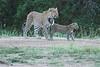 Leopard_Cubs_Mara_2018_Asilia__0256
