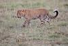 Leopard_Cubs_Mara_2018_Asilia__0038