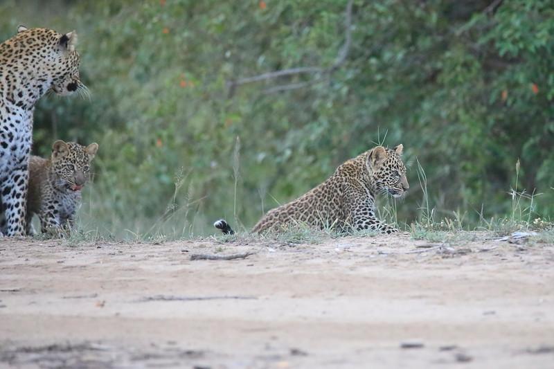 Leopard_Cubs_Mara_2018_Asilia__0137