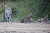 Leopard_Cubs_Mara_2018_Asilia__0163