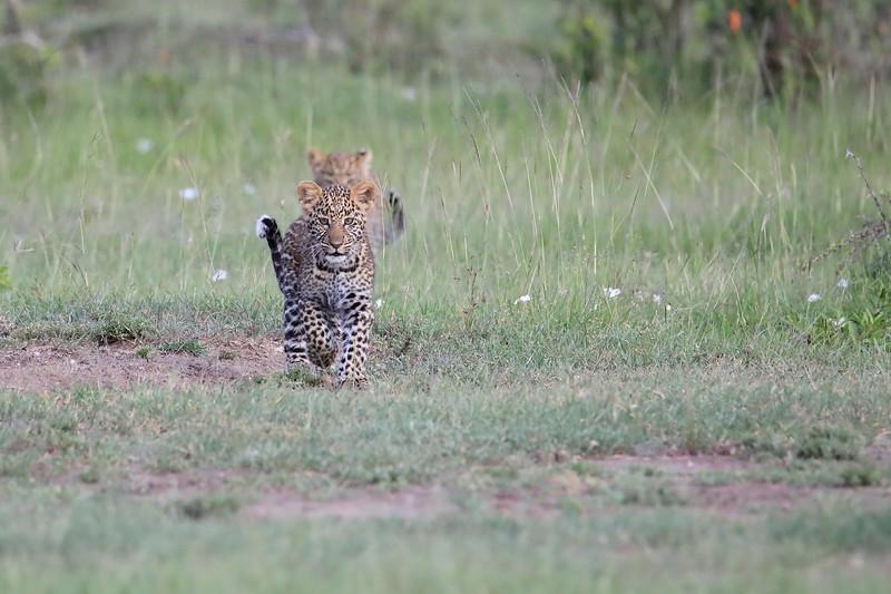 Leopard_Cubs_Mara_2018_Asilia__0006