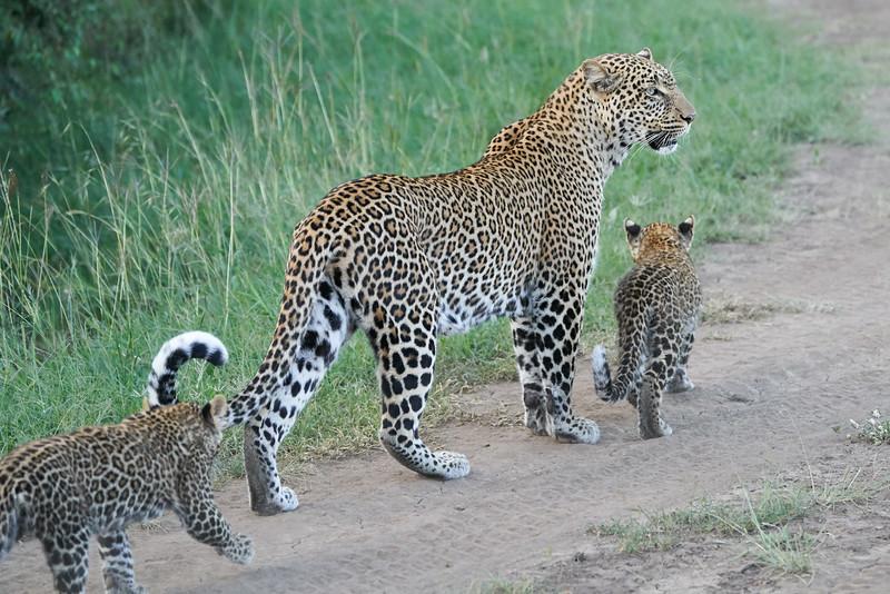 Leopard_Cubs_Mara_2018_Asilia__0226