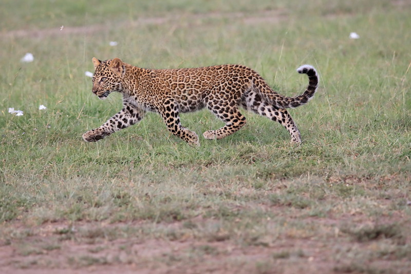Leopard_Cubs_Mara_2018_Asilia__0043