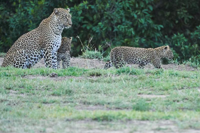Leopard_Cubs_Mara_2018_Asilia__0264