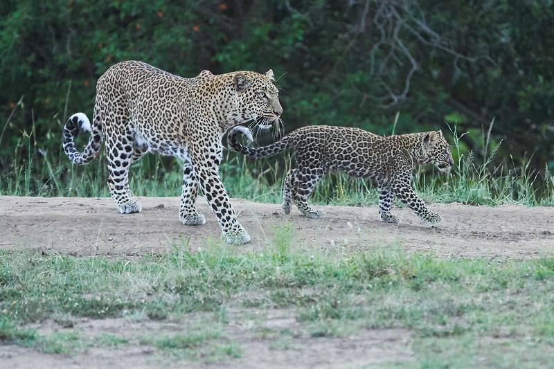 Leopard_Cubs_Mara_2018_Asilia__0258