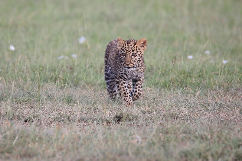 Leopard_Cubs_Mara_2018_Asilia__0024