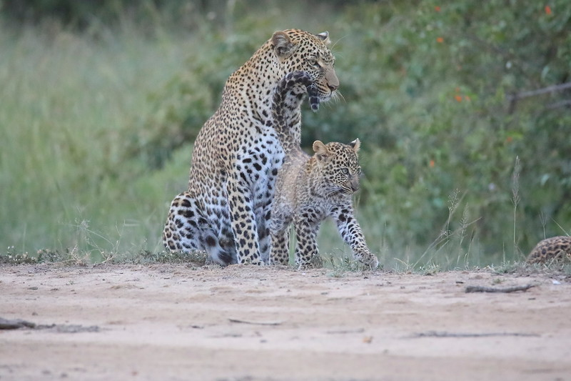 Leopard_Cubs_Mara_2018_Asilia__0143