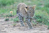 Leopard_Cubs_Mara_2018_Asilia__0244