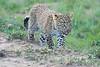 Leopard_Cubs_Mara_2018_Asilia__0254
