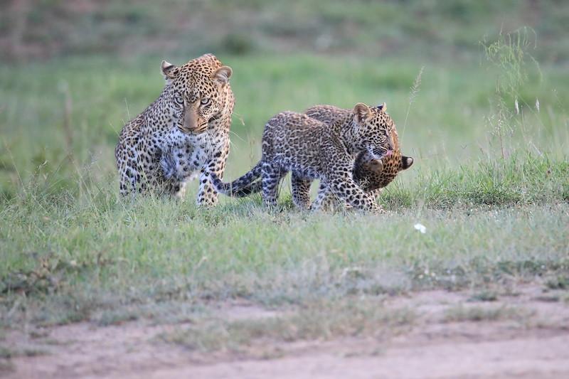 Leopard_Cubs_Mara_2018_Asilia__0076