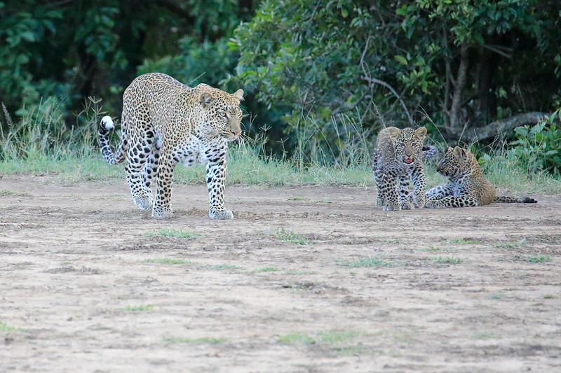 Leopard_Cubs_Mara_2018_Asilia__0106