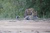 Leopard_Cubs_Mara_2018_Asilia__0157