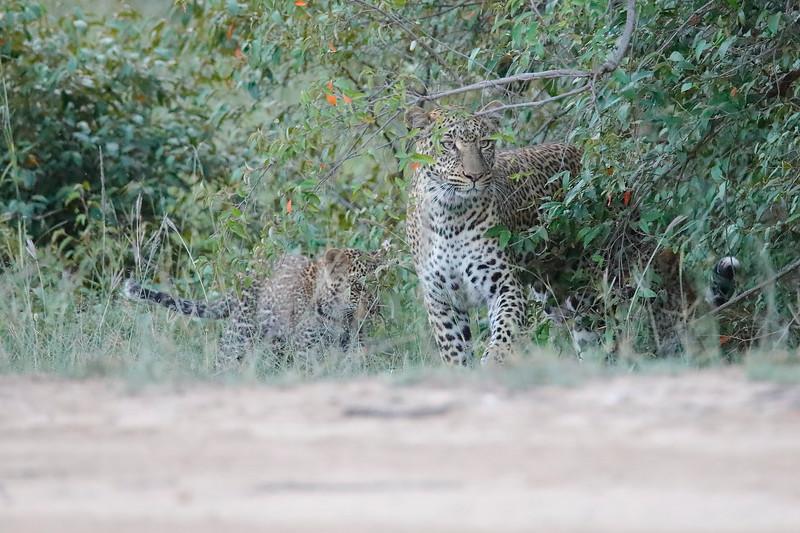 Leopard_Cubs_Mara_2018_Asilia__0134