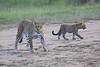 Leopard_Cubs_Mara_2018_Asilia__0086