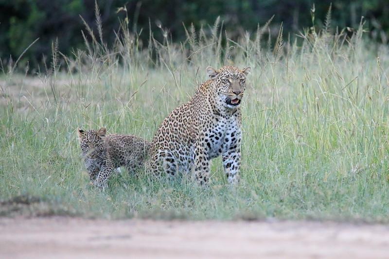 Leopard_Cubs_Mara_2018_Asilia__0128