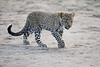 Leopard_Cubs_Mara_2018_Asilia__0100
